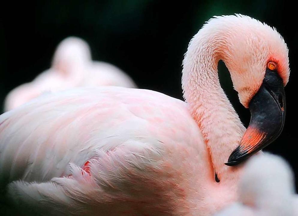 Die Färbung der Flamingos ist artspezifisch.  | Foto: DANIEL SORABJI