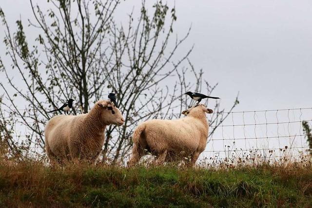Bild mit Elstern und Schafen belegt Platz drei