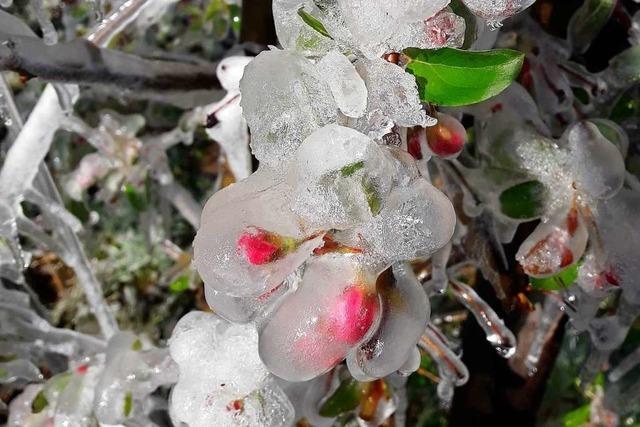 Wie Obstbäume mit Eis vor Frost geschützt werden