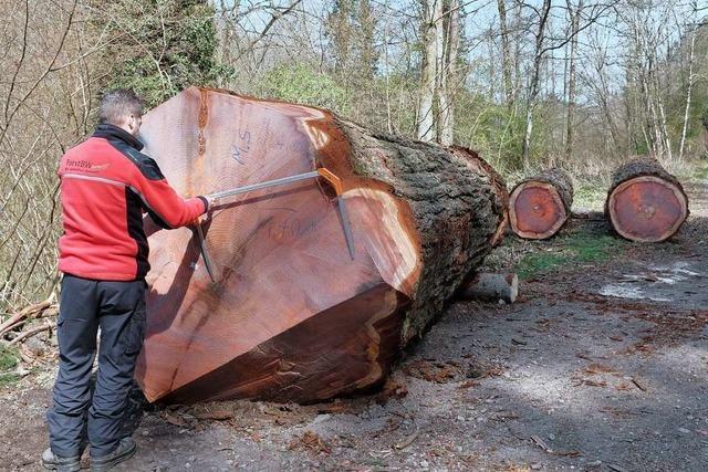 Warum in Kandern ein 100 Jahre alter Mammutbaum gefällt wurde