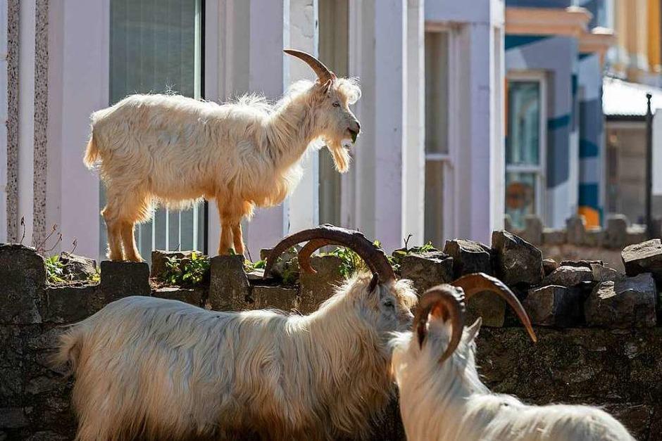 In Llandudno, Großbritannien, erobern Ziegen die Stadt zurück, hier stehen sie vor einem Haus. (Foto: Peter Byrne (dpa))