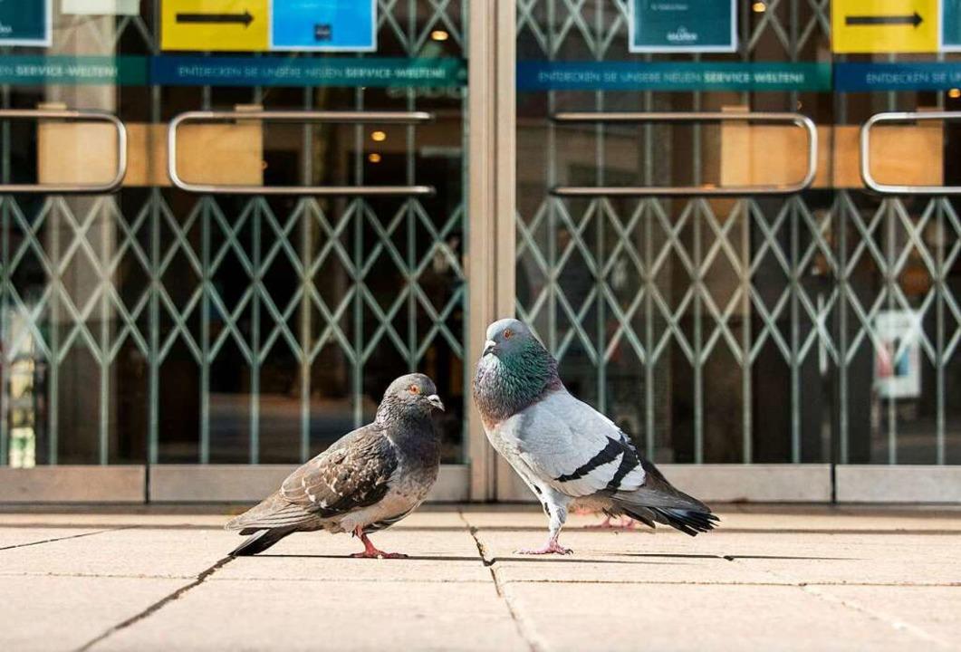 Die Tauben stehen vor verschlossenen T...en Innenstädten  derzeit kein Futter.   | Foto: Daniel Bockwoldt (dpa)