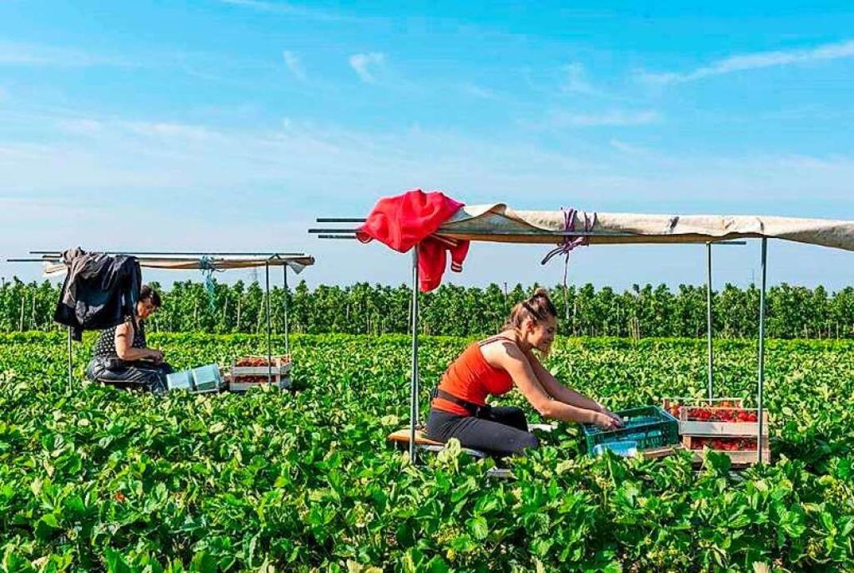 Bald beginnt die Erdbeerernte.  | Foto: suwa