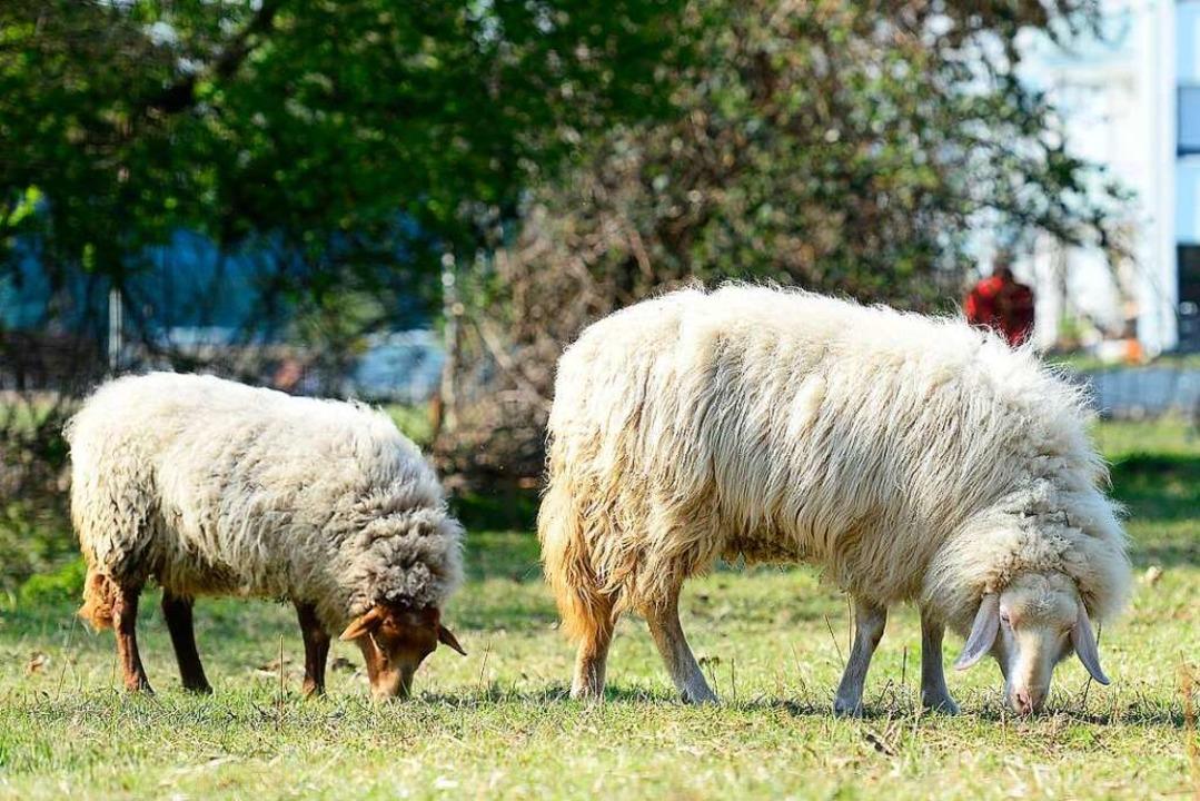 Die Schafe und sonstigen Tiere von &#8...iet Obergrün aus der Ferne betrachten.  | Foto: Ingo Schneider