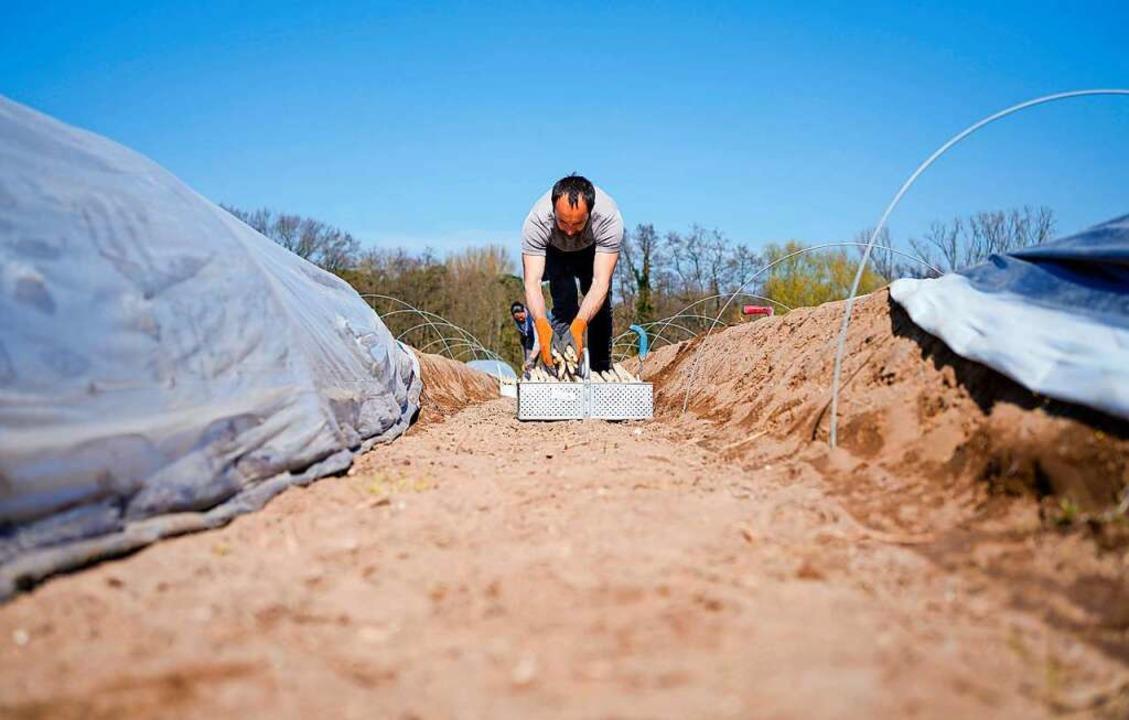 Jetzt beginnt die Spargelernte in der Region..  | Foto: Uwe Anspach (dpa)