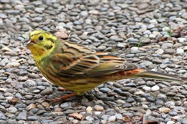 Den scheuen Vogel lockt im Winter das Futter