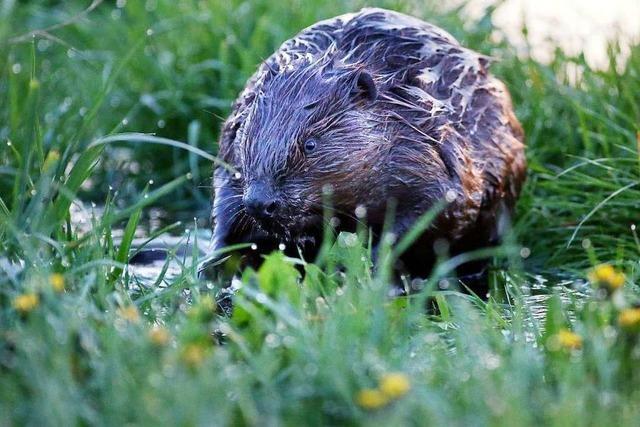 Agrarminister Hauk will Bibern auf den Pelz rücken