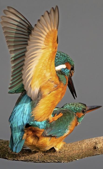 Dieses Bild von zwei Eisvögeln bei der Paarung erreichte Platz eins.  | Foto: FUTTERER MATTHIAS