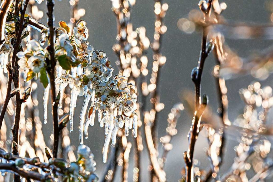 Schön anzusehen: der eisige Schutz für... in Fritz Hagios' Apfelparadies.  | Foto: Hubert Gemmert