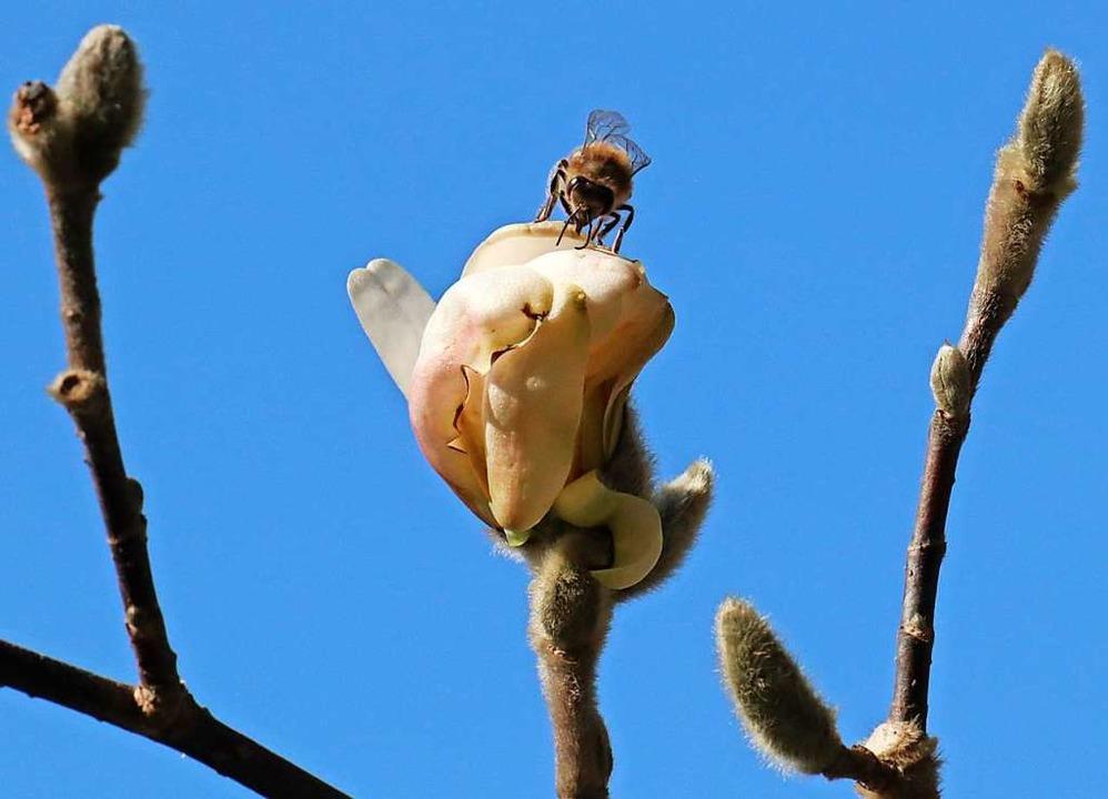 Biene auf einer Magnolienblüte  | Foto: Bernd Wehrle