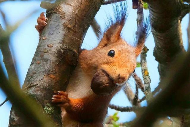 Putziges Eichhörnchen mit fetter Beute