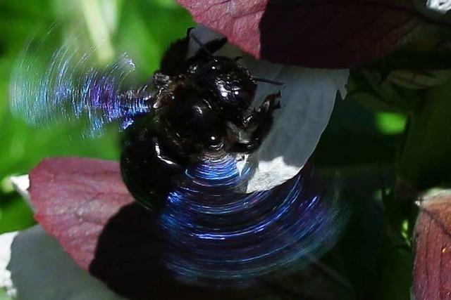 Violetten Holzbiene in Wyhlen