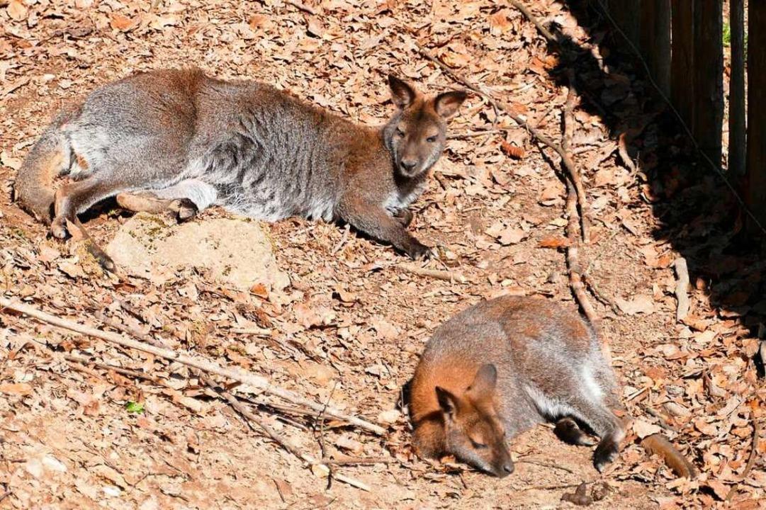Die Kängurus lassen es geruhsam angehen.    Foto: Sylvia Sredniawa