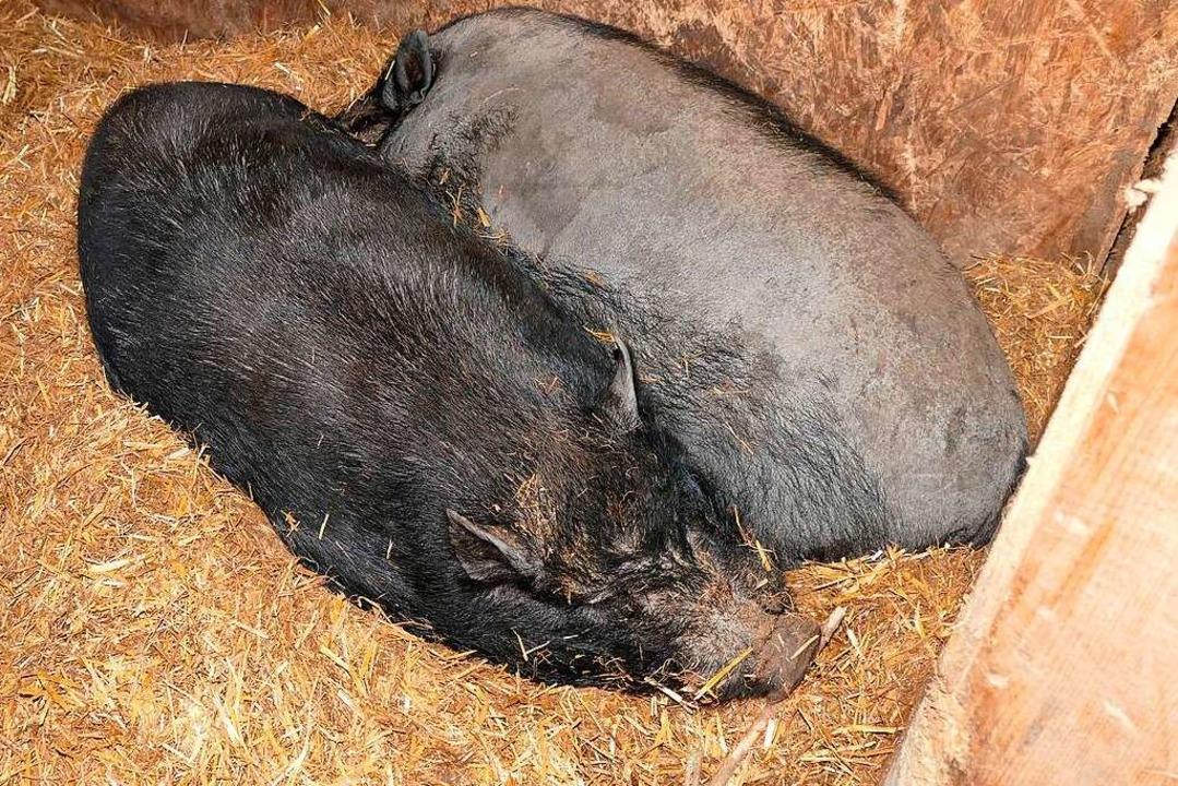 Die Schweine suchen Nähe. Gibt's bald Nachwuchs?    Foto: Sylvia Sredniawa