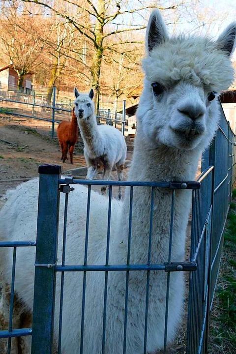 Alpakas sind ziemlich neugierig.    Foto: Sylvia Sredniawa