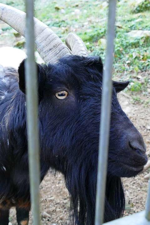 Eine Ziege    Foto: Sylvia Sredniawa