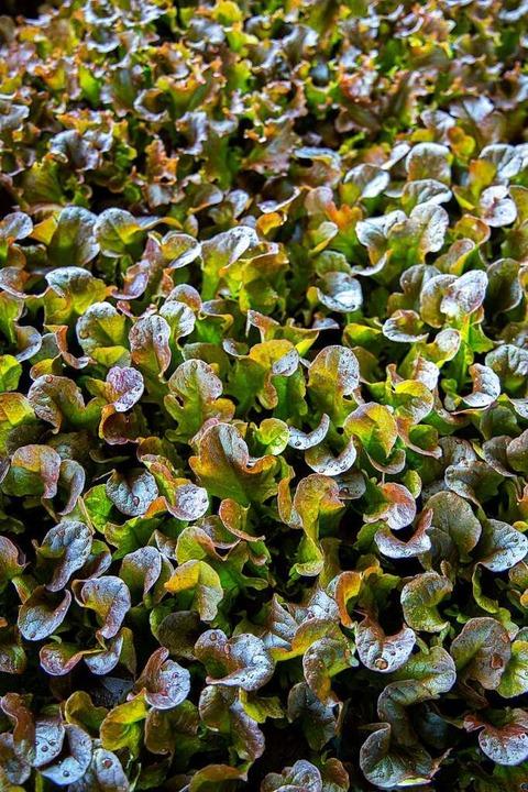 Salat soweit das Auge reicht   | Foto: Joss Andres