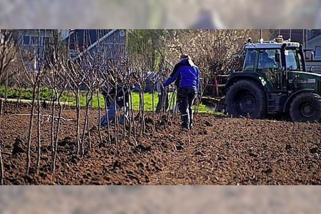 Frische Apfelbäume in Altenheim