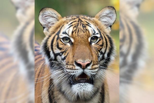 Tiger positiv auf Coronavirus getestet