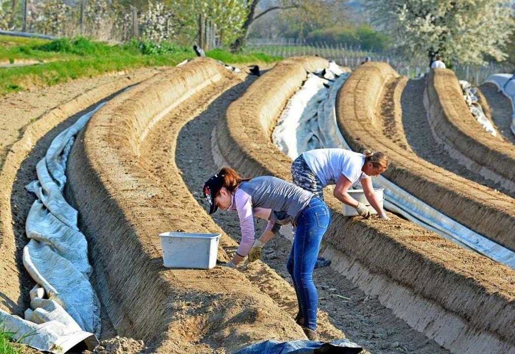 Auf den Spargelfeldern am Tuniberg hat die Ernte  begonnen.  | Foto: Michael Bamberger