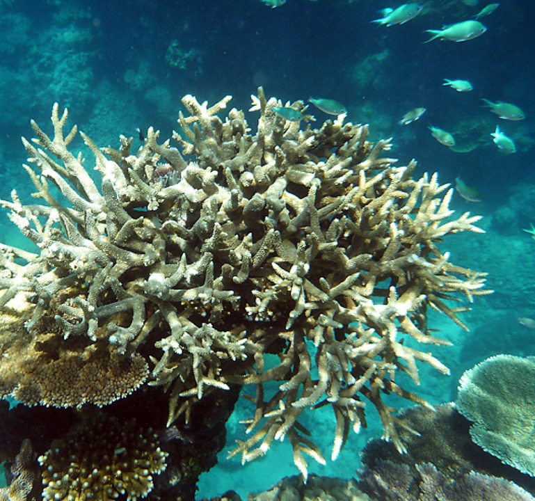 Gebleichte Koralle vor Australien  | Foto: Daniel Naupold (dpa)