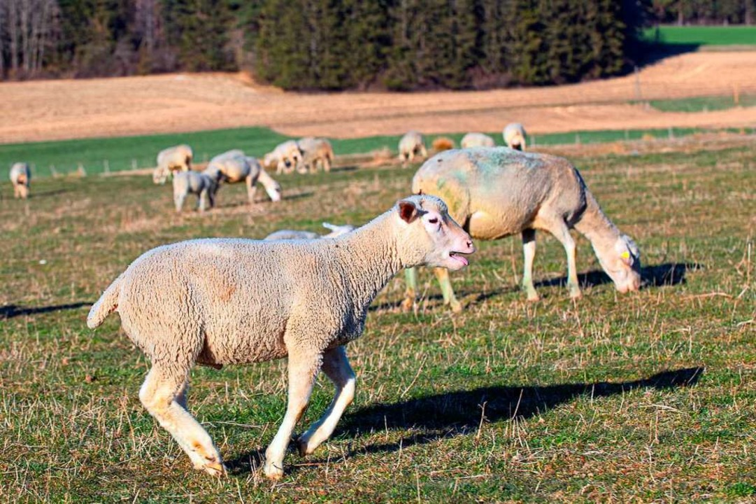 Die Schafe freuen sich über den Frühling.    Foto: Wolfgang Scheu
