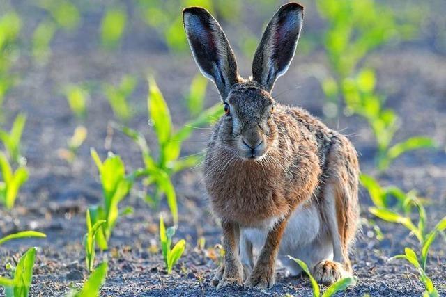Hase und Kaninchen, was unterscheidet euch eigentlich?