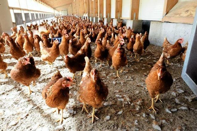 Die Hühner auf dem Nock-Hof legen täglich 13.000 Eier