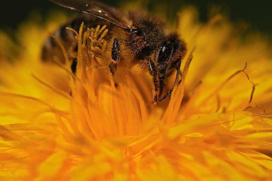 """Die 14-Jährige Lilly Müller kann ihren Hobby - der Makrofotografie - im Garten nachgehen. """"Die Bienen scheinen nichts von der Corona-Krise zu merken und genießen die Sonne und den Löwenzahn"""", schreibt sie in der Mail zu ihrem Foto. (Foto: Lilly Müller)"""