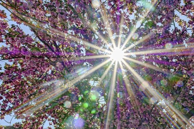 Corona mal anders: Als Lichterkranz in der Kirschblüte in Staufen