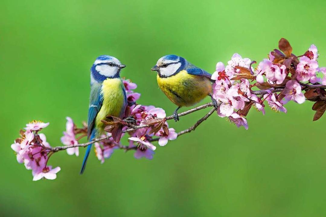 Blaumeisen gehören zu den farbenprächtigsten Singvögeln in unseren Gärten.  | Foto: Ivan Godal - stock.adobe.com