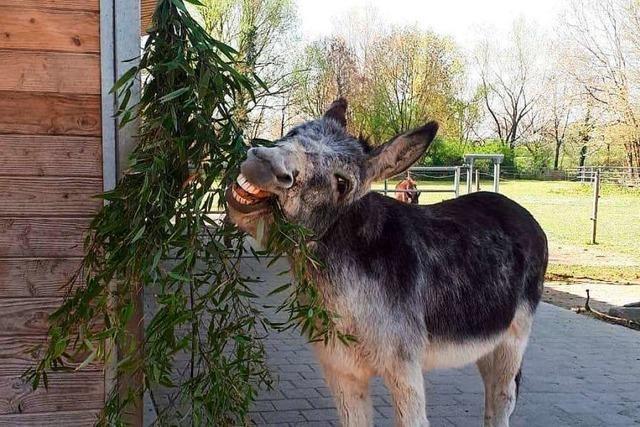 Mundenhof-Esel Michel frisst zu gerne - jetzt muss er auf Diät