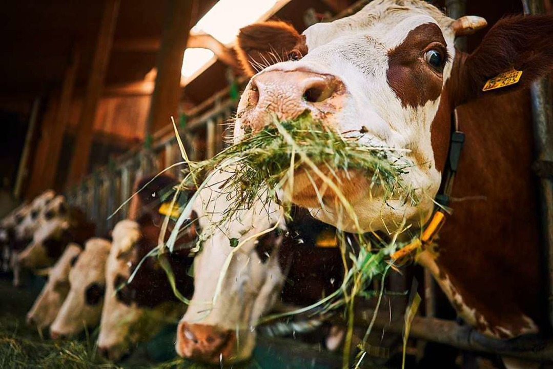 Milchproduktion auf Schwarzwälder Art  | Foto: Axel Killian/Schwarzwaldmilch