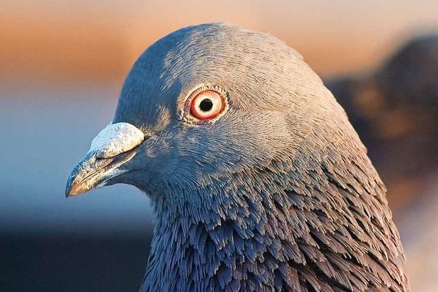 Erschossene Taube in Beuggen: Peta setzt 1000 Euro Belohnung aus