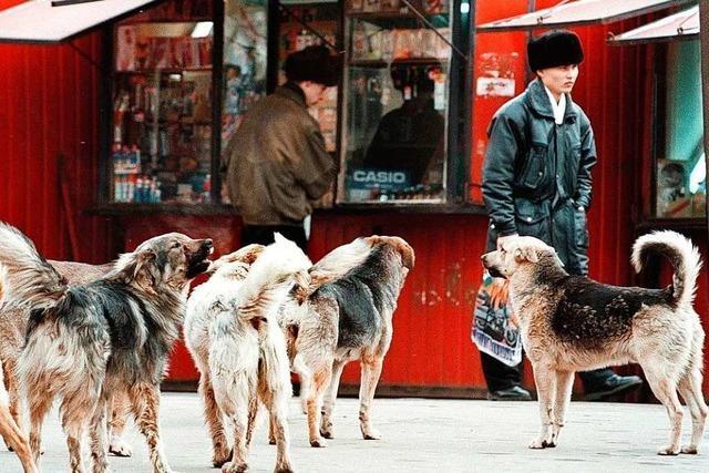 Aggressive Straßenhunde bedrohen Menschen in Russland