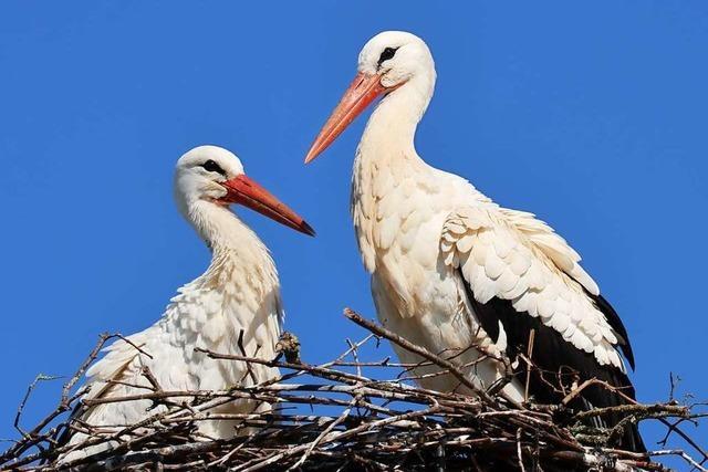 Bald schlüpfen die ersten Jungen bei Südbadens Störchen