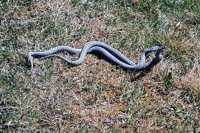 Spaziergänger sollen Schlangen zählen