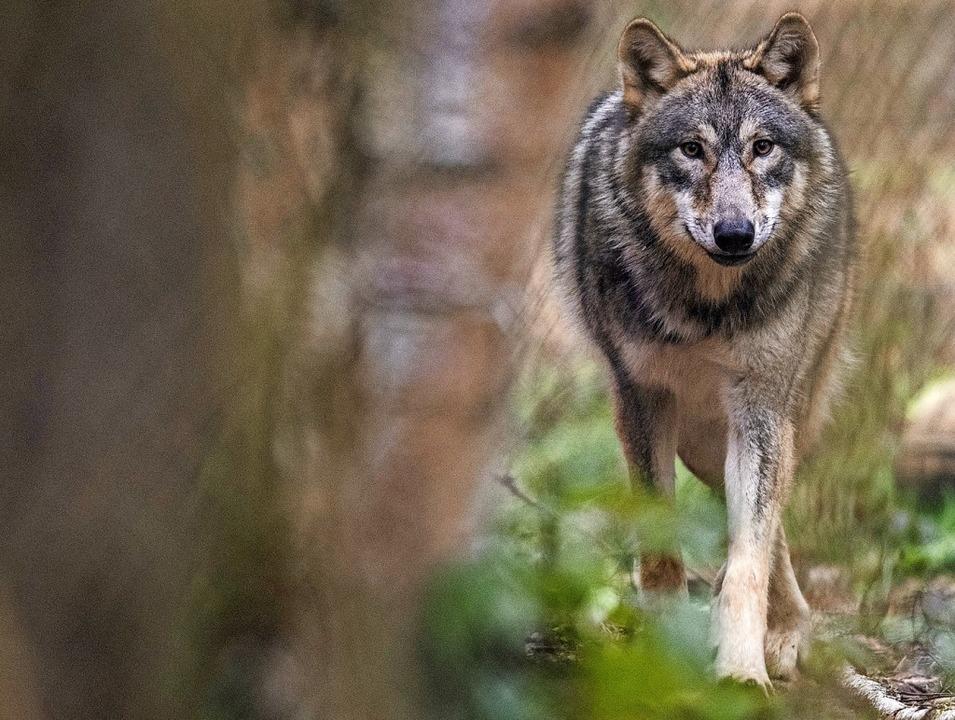 Ein Wolf zieht umher (Symbolfoto)   | Foto: Boris Roessler (dpa)