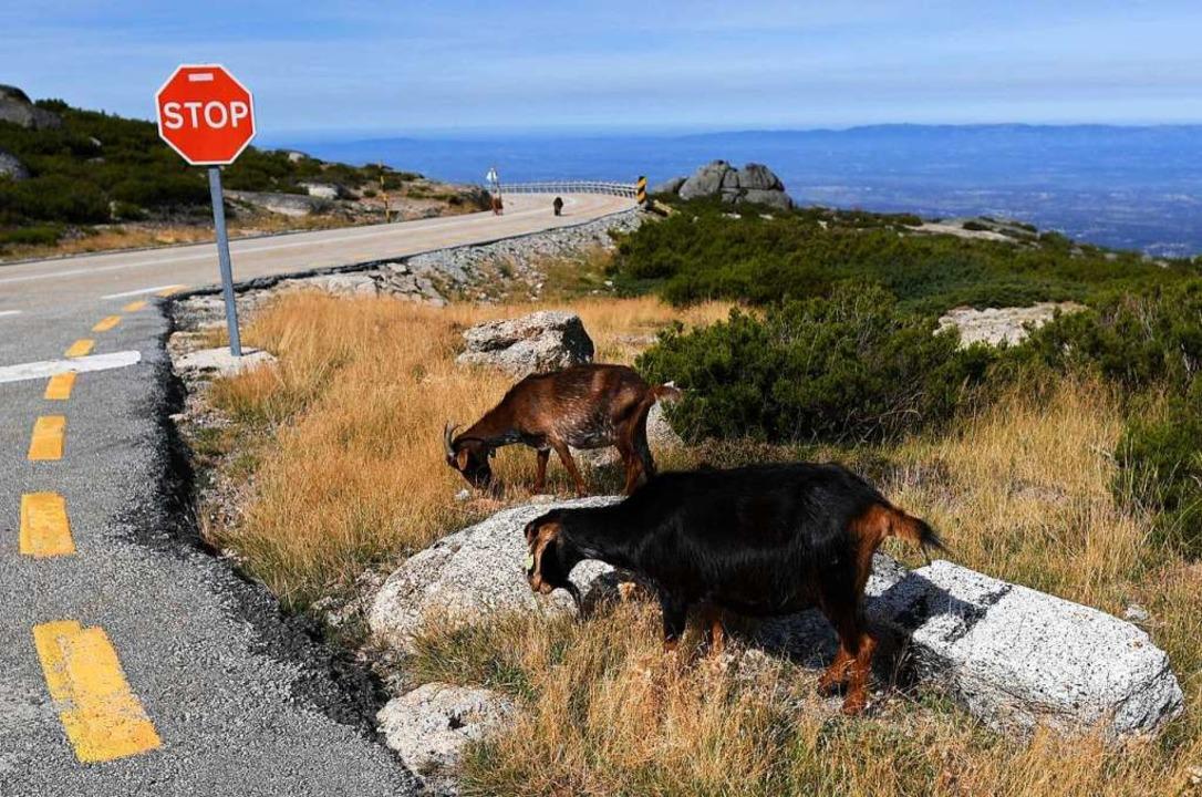 Schafe,  Berge, Wildnis und Weite machen den Charakter der Serra da Estrela aus.  | Foto: FRANCISCO LEONG