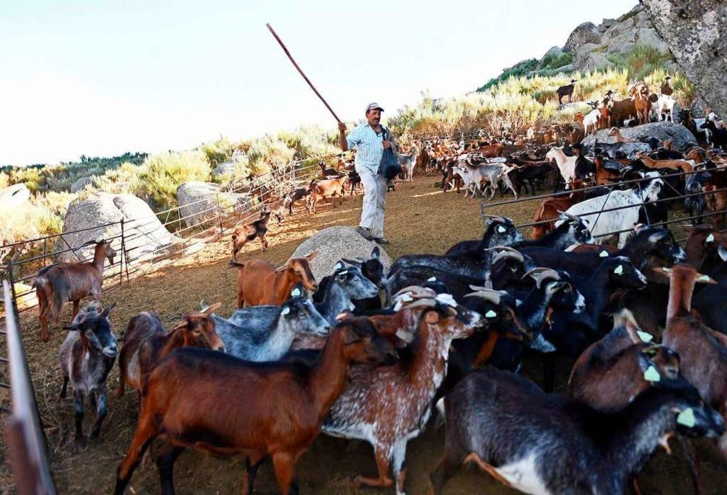 Ein Schäfer treibt in der Nähe des Ortes Loriga seine Herde zusammen.  | Foto: FRANCISCO LEONG