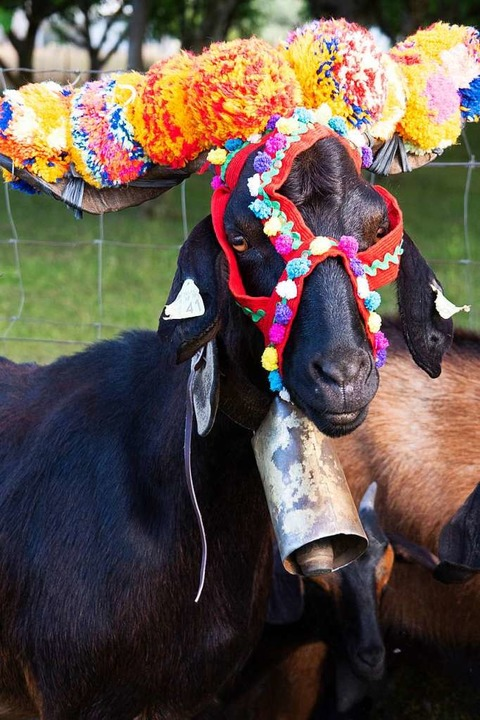 Besonders: Zur Segnung der Herden werd...strela mit buntem Zaumzeug geschmückt.  | Foto: Andreas Drouve (dpa)