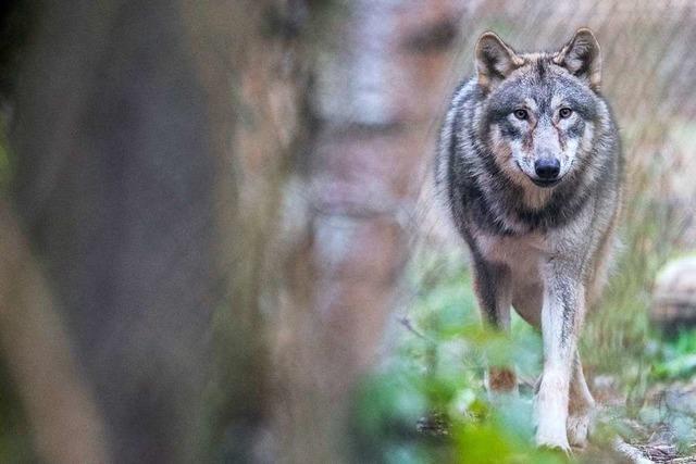 Wolf tappt in Fotofalle im Staatswald am Schluchsee