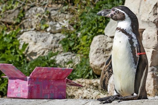 Pinguin-Lady Rosie feiert 30. Geburtstag