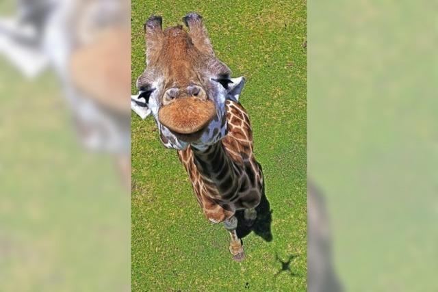 Eine Giraffe von oben