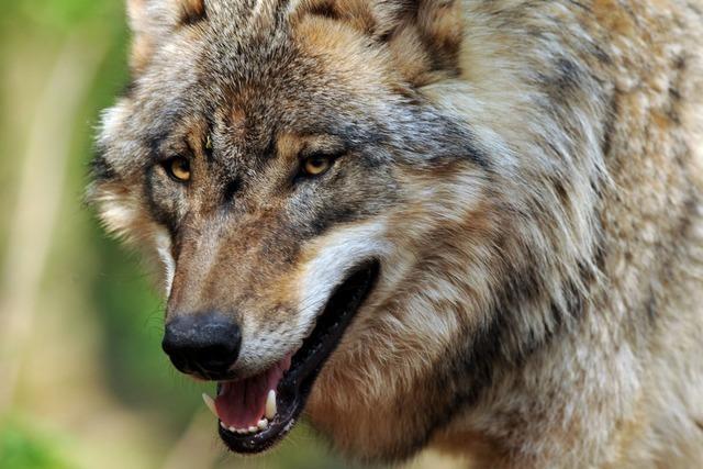 Hat der Wolf vom Schluchsee Ziegen in Münstertal gerissen?