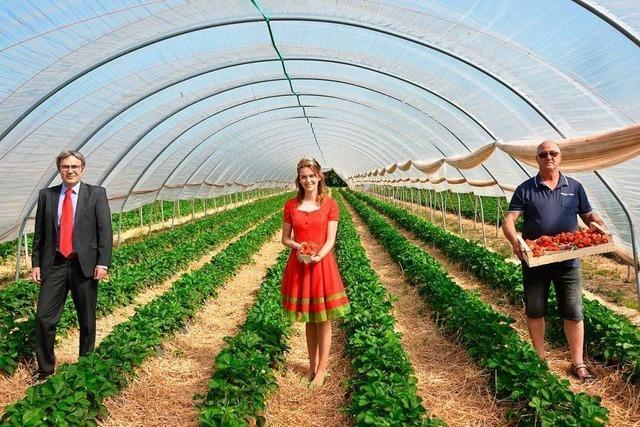 Obstgroßmarkt Mittelbaden rechnet mit 4000 Tonnen Erdbeeren