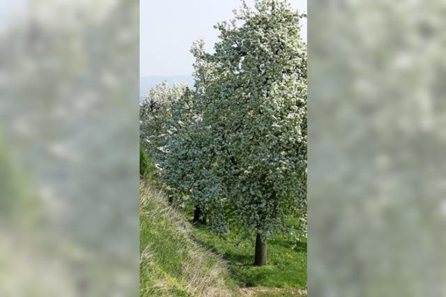 Geld für den Schnitt von Streuobstbäumen
