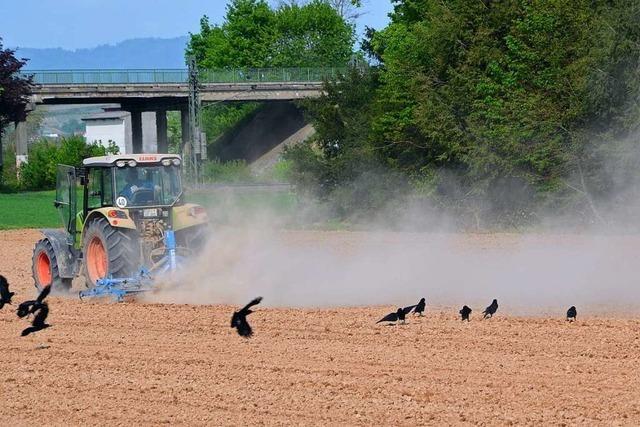 Trockenheit bringt Landwirte in der Ortenau in die Bredouille