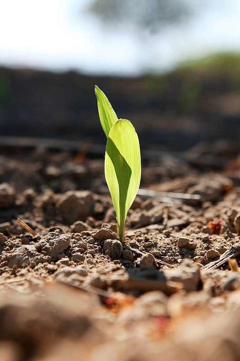 Mais-Keimling auf einem Sulzer Feld  | Foto: Bastian Bernhardt