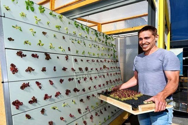 In der Freiburger Unterwiehre wächst Salat fast unter Laborbedingungen